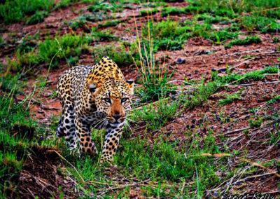 steve-kelly-leopard