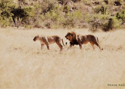 steve-kelly-lions